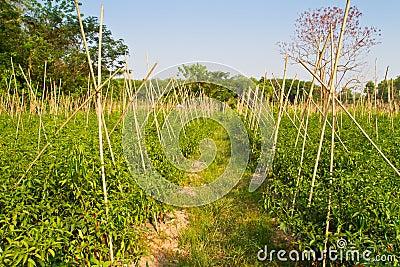 Azienda agricola del peperoncino rosso immagini stock for Acquisto piante peperoncino