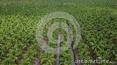 azienda agricola della noce di cocco di agricoltura di vista aerea 4k stock footage