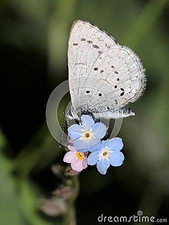 Azure Butterfly en las flores azules
