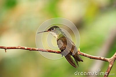 Azure-crowned hummingbird
