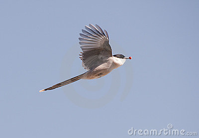 Azure-wing Magpie