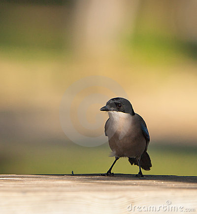 The Azure-winged Magpie