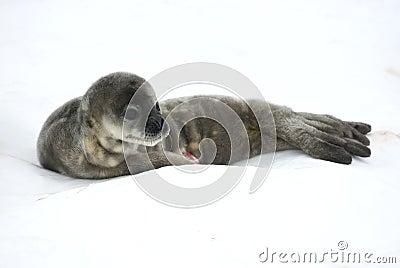 Bébés phoques de Weddell dans la neige.