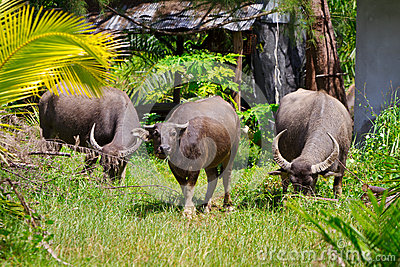 Büffel auf KOH Kho Khao Insel