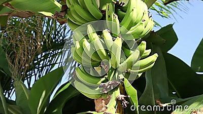 Bündel Bananen stock video
