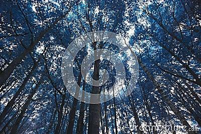 Błękitni lasowi drzewa