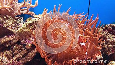 Błazenu anemon i ryba zbiory wideo