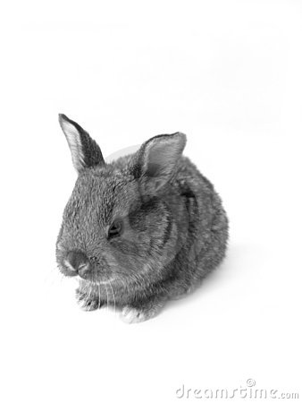B&W rabbit