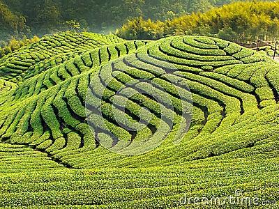 Ba Gua Tea garden in Taiwan