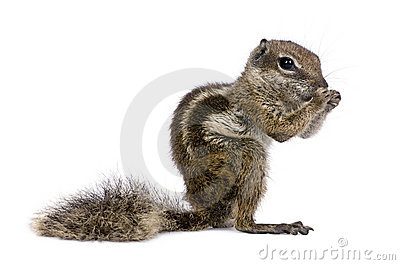 Babary Ground Squirrel, Atlantoxerus Getulus, stan