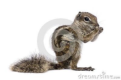 Babary Ground Squirrel, Atlantoxerus Getulus, stan