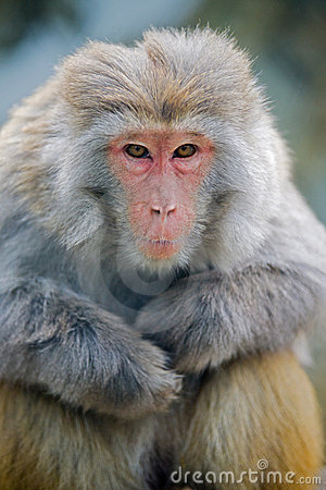 Free Baboon Royalty Free Stock Photos - 18739478