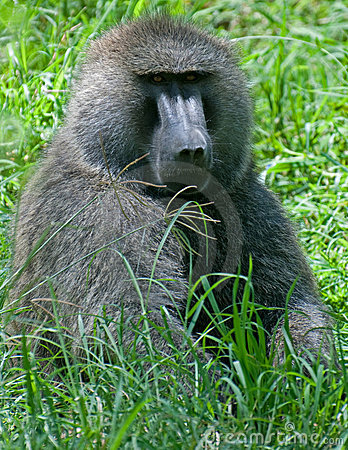 Free Baboon Royalty Free Stock Image - 20020846