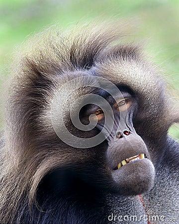 Free Baboon Stock Photos - 2162553