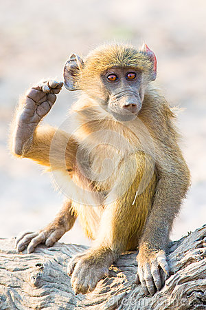 Free Baboon Baby Scratching His Ear With His Foot Stock Photo - 86698460