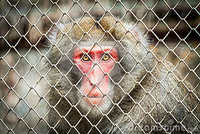 Baboon in a cage at the zoo