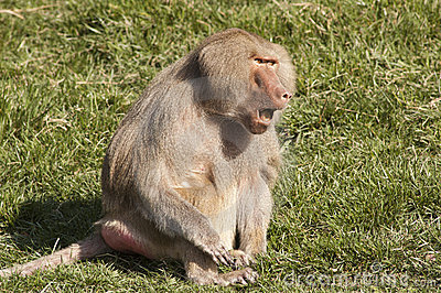 Baboon communicating