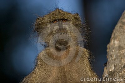Baboon in the early morning