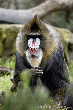 Free Baboon Face Stock Image - 20556951