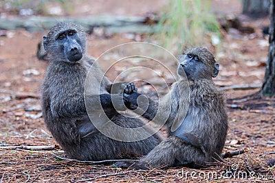 Baboon friends
