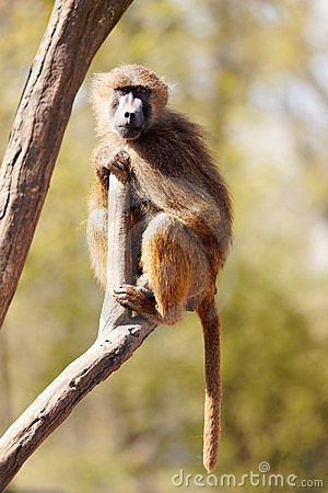 Free Baboon In The Wilderness Royalty Free Stock Images - 13989879
