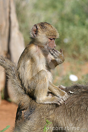 Free Baboon Infant Royalty Free Stock Photography - 1674577