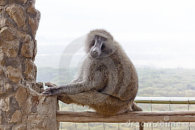 Baboon in the Kenya