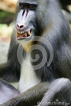 Baboon mandrill