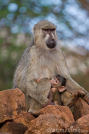 Free Baboon Mother And Infant Royalty Free Stock Photography - 2412997