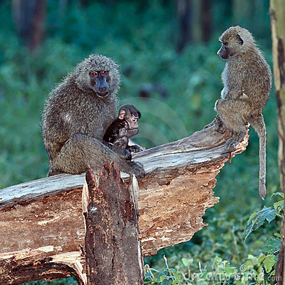 Baboon mother feeds the baby sitting in a tree