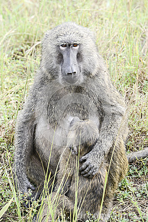 Baboon mother protects suckling baby