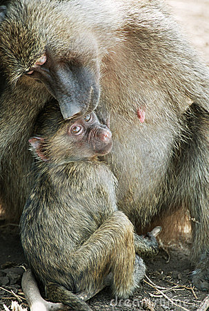 Free Baboon Mother With Baby Royalty Free Stock Image - 1566056
