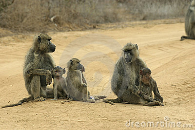 Baboon mothers and infants