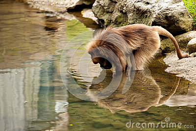 Baboon reflection