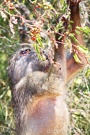 Baboon searching food