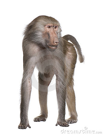 Free Baboon - Simia Hamadryas Royalty Free Stock Images - 9332679