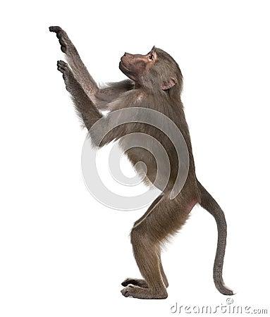 Free Baboon - Simia Hamadryas Royalty Free Stock Images - 9332789