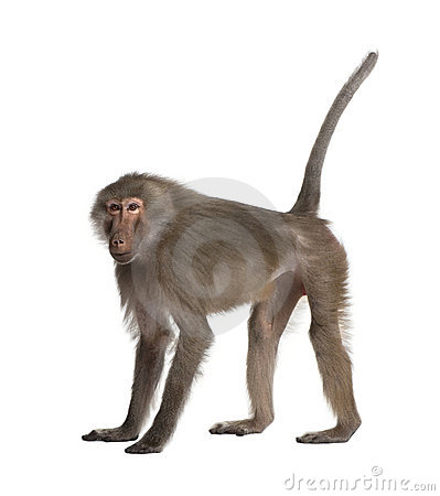 Free Baboon - Simia Hamadryas Stock Photography - 9332792
