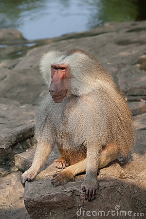Baboon sit on rock