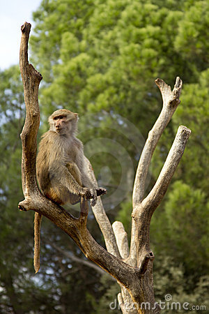 Baboon siting on a tree