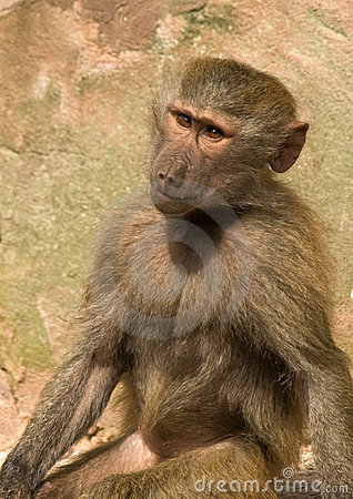 Baboon Sitting staring