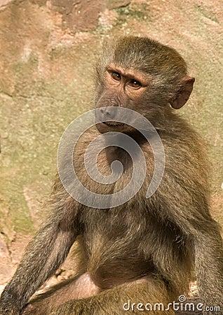 Baboon Sitting staring