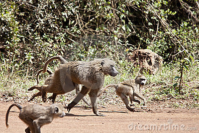 Baboon troop