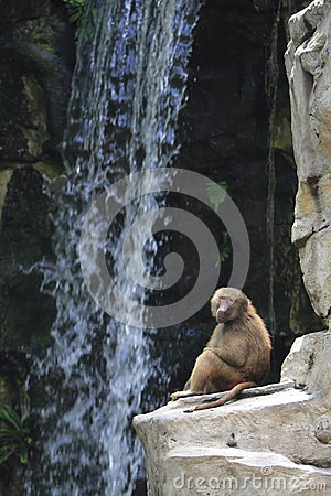 Baboon by waterfall