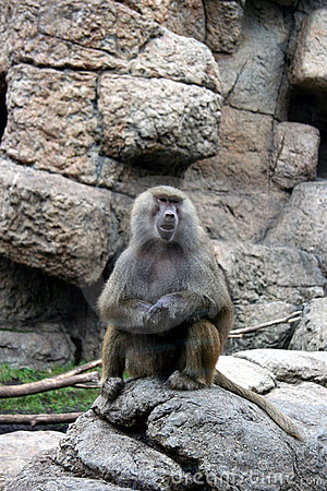 Baboon at zoo
