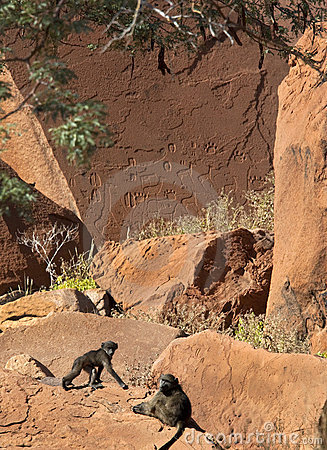 Baboons and ancient petroglyphs - Namibia