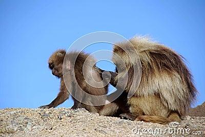 Baboons, Ethiopia