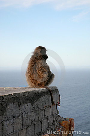 Free Baboons In Cape Point Royalty Free Stock Photo - 2066305