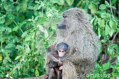 Baboons (Papio)