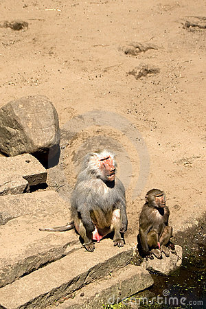 Baboons watching humans